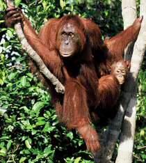 i-orangutan