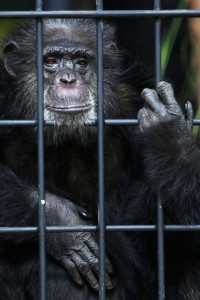 Chita, a female chimpanzee, peers from within her new enclosure at a zoo in Asuncion, Paraguay, Friday, May 2, 2014. Chita came to Paraguay from Argentina in 1972, with another chimp named Congo, and they have been caged since. The chimpanzees haven't reproduced despite being together for 44 years. Veterinarians say it could be due to the stress of being in captivity. (AP Photo/Jorge Saenz)